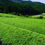 緑茶のはなし【侮れない緑茶のパワー】